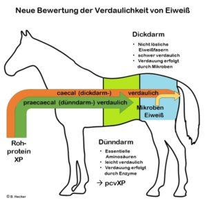 Neue Bewertung der Verdaulichkeit von Eiweiß beim Pferd bei Opti-Ration