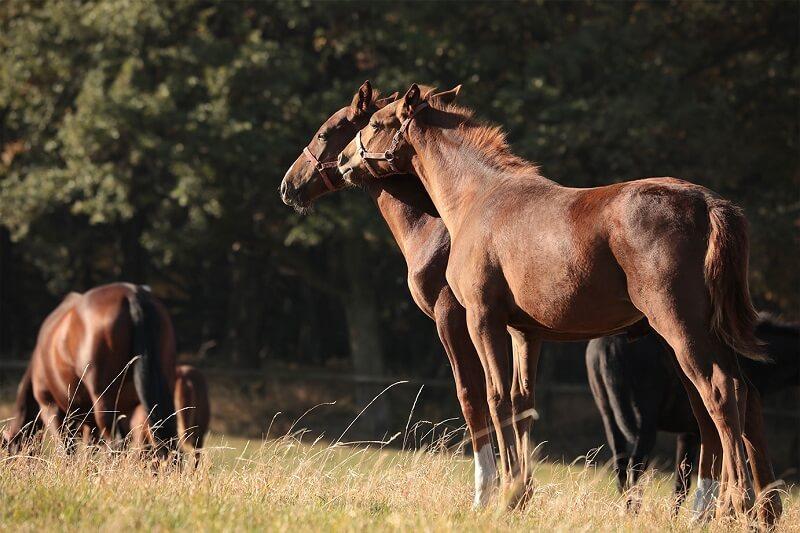 Pferde beim Weidegang Opti-Ration